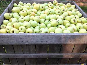 Golden apples ready for harvest