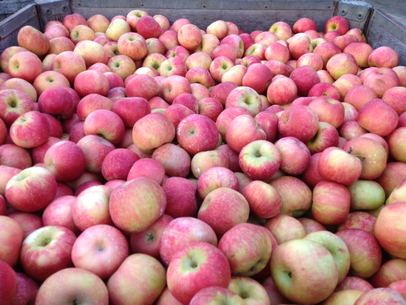 Bin of Honeycrisp apples