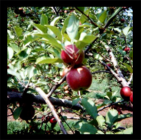 Red Apple Barn Orchard approximate harvest dates